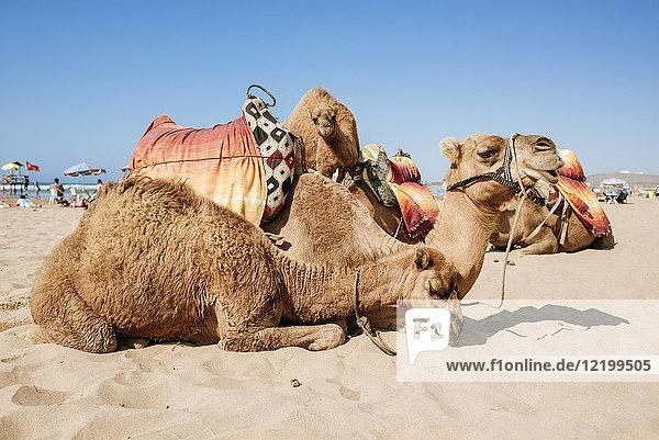 Marokko  Tanger  am Strand liegende Kamele
