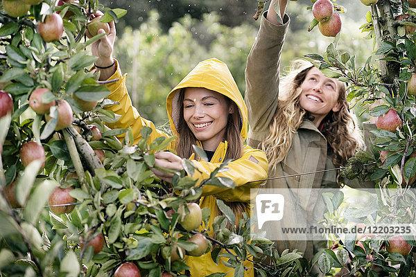 Zwei lächelnde Frauen  die im Regen Äpfel vom Baum ernten