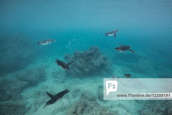 Galapagos Penguins hunting sardines  Seymour  Galapagos  Ecuador