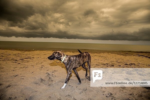 Dog walking in a stormy overcast sunset beach  Cartagena beach in Colombia.