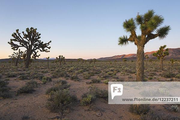 USA  California  Death Valley National Park  Joshua trees at sunrise