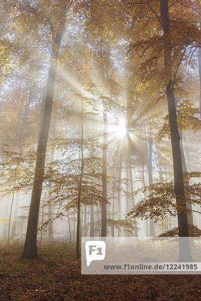 Sunbeams in European Beech (Fagus sylvatica) Forest in Autumn  Spessart  Bavaria  Germany