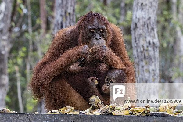 Mother and baby Bornean orangutans (Pongo pygmaeus)  Buluh Kecil River  Borneo  Indonesia  Southeast Asia  Asia