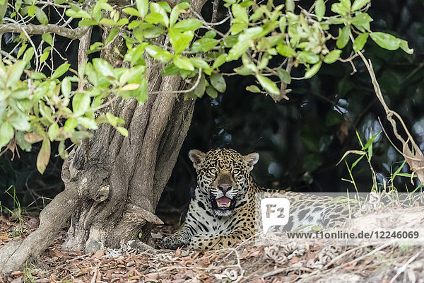 An adult jaguar (Panthera onca)  on the riverbank of the Rio Tres Irmao  Mato Grosso  Brazil  South America