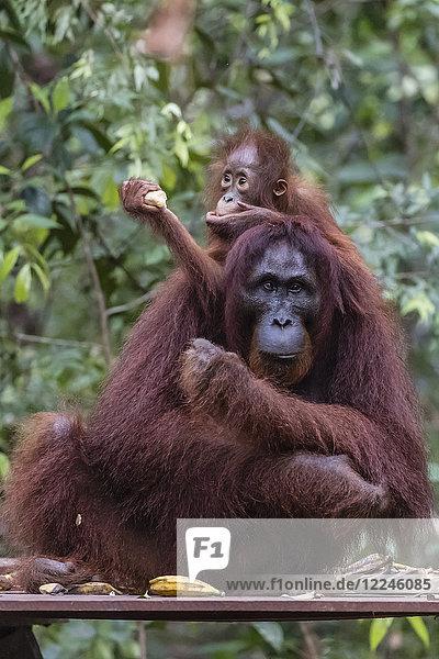 Mother and baby Bornean orangutan (Pongo pygmaeus) at Camp Leakey  Borneo  Indonesia  Southeast Asia  Asia