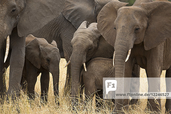 A family of elephants (Loxondonta africana) huddled together with their young in Tarangire National Park  Tanzania  East Africa  Africa