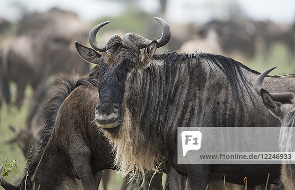 Close-up of a wildebeest (Connochaetes taurinus) in Serengeti National Park  Tanzania  East Africa  Africa