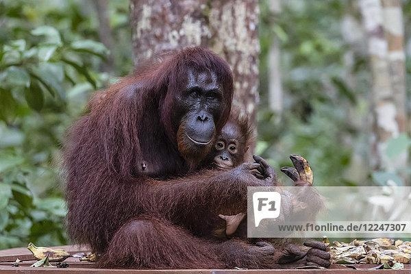 Mother and baby Bornean orangutan (Pongo pygmaeus)  Camp Leakey  Borneo  Indonesia  Southeast Asia  Asia