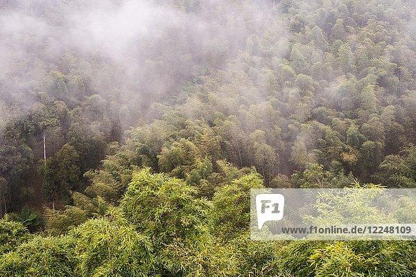 Bambuswald im Nebel  Nantou  Taiwan  China  Asien