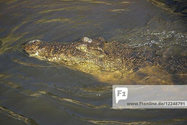 Nilkrokodil (Crocodylus niloticus)  im Chobe-Fluss  Chobe-Nationalpark  Botswana  Afrika