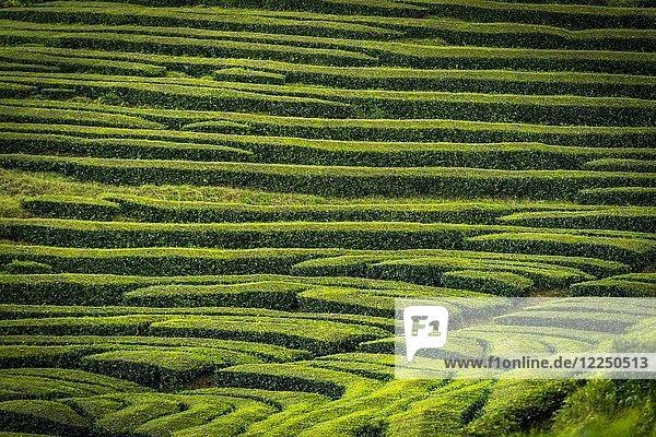 Teesträucher in einer Reihe  Teeplantage Chá Gorreana  bei São Brás de Alportel  Sao Miguel  Azoren  Portugal  Europa
