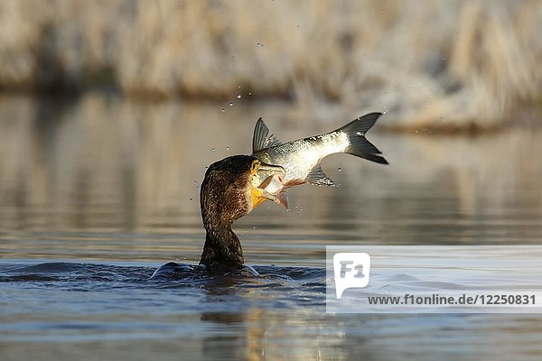 Great cormorant (Phalacrocorax carbo) with fish as prey  Biosphere Reserve Middle Elbe  Dessau-Roßlau  Saxony-Anhalt  Germany  Europe