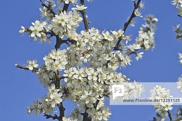 Weiße Blüten  Schlehdorn (Prunus spinosa) im Frühling  Gauting  Oberbayern  Bayern  Deutschland  Europa