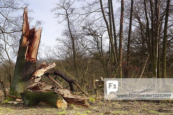Windthrow of an oak  Biosphere Reserve Middle Elbe  Dessau-Roßlau  Saxony-Anhalt  Germany  Europe