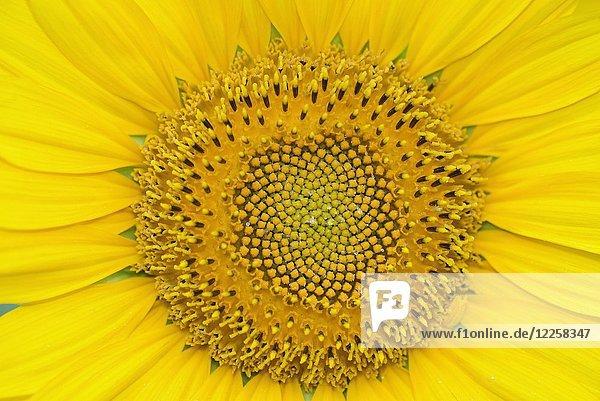 Sonnenblume (Helianthus)  Sonnenblumenfeld  Nordrhein-Westfalen  Deutschland  Europa