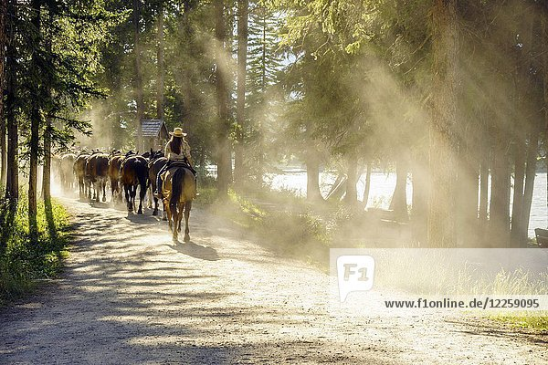 Herd of horses followed by woman on dusty forest path  Banff National Park  Alberta  Canada  North America