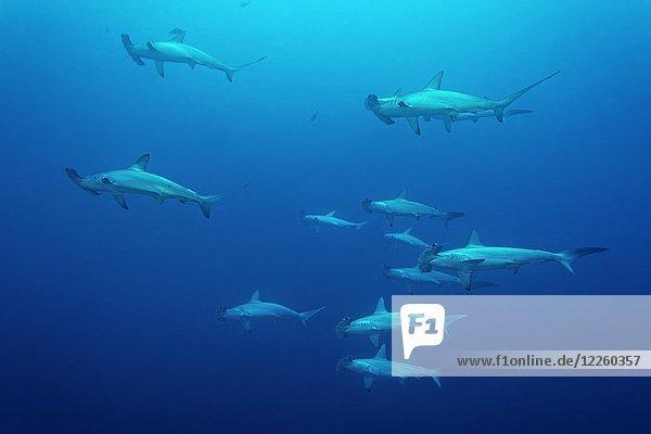 Schwarm  Gruppe Bogenstirn-Hammerhaie (Sphyrna lewini) schwimmen im offenen Meer  Rotes Meer  Ägypten  Afrika