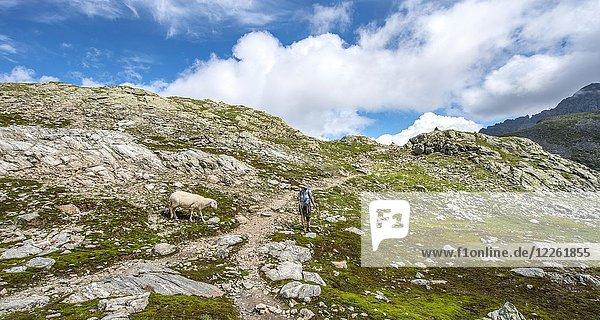 Schaf und Wanderin am Wanderweg  Klafferkessel  Schladminger Höhenweg  Schladminger Tauern  Schladming  Steiermark  Österreich  Europa