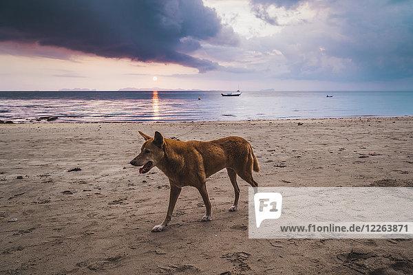 Thailand  Phi Phi Phi Inseln  Ko Phi Phi Phi  Hund am Strand bei Sonnenuntergang
