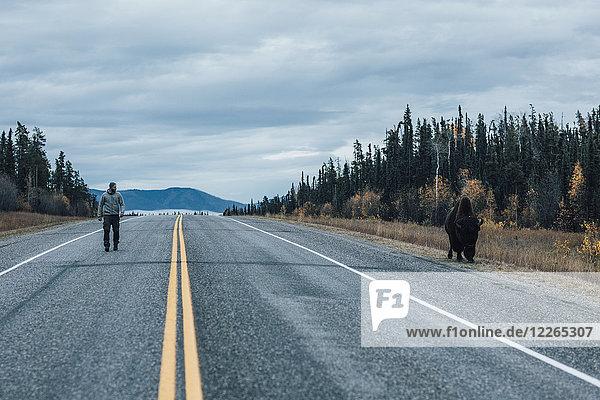 Kanada  British Columbia  Mann auf dem Alaska Highway mit Bison am Straßenrand