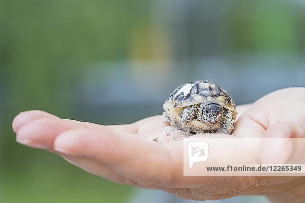Hermann's tortoise  Testudo hermanni  freshly hatched