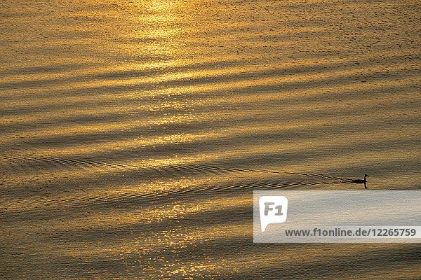 Bodensee  Kapsturmvogel bei Sonnenaufgang