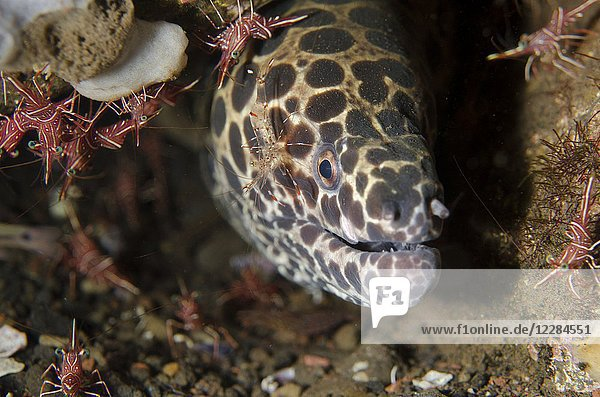 Juvenile Blackspotted Moray (Gymnothorax favagineus) with Clear Cleaner Shrimp (Urocaridella antonbrunii) on cheek with Dancing Shrimp (Rhynchocinetes durbanensis)  Scuba Seraya house reef dive site  Seraya  Bali  Indonesia.