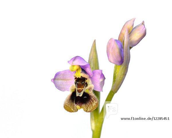 Ophrys tenthredinifera  Crete