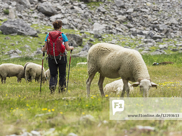 Woman hiker with sheep in the High Pyrenees descending Oulettes d'Ossoue towards Gavarnie  France