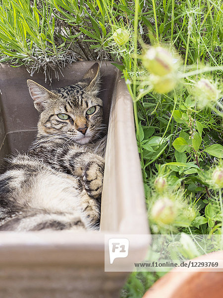 Domestic cat resting in an empty plant pot