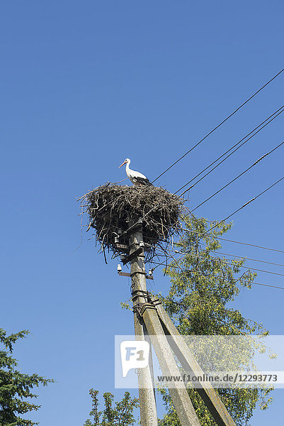 Stork's nest on the power line