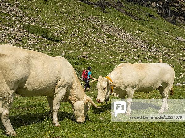 Woman hiker passing two cows near Pont d'Estaube  France