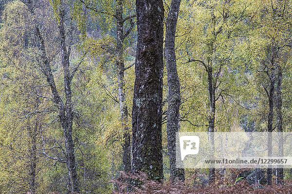 Idyllic autumn trees in woods  Glen Affric  Scotland