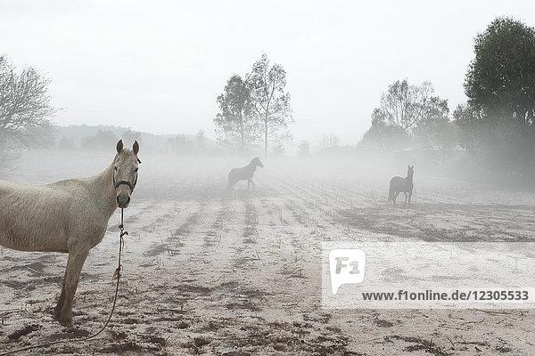 Horses standing in field during hailstorm  Huasca e Ocampo  Hidalgo  Mexico