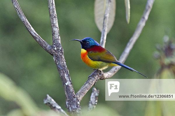 Thailand  Chiang Mai  Doi Inthanon  Green-tailed sunbird  Aethopyga nipalensis  male