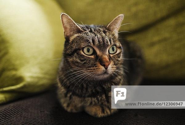 Portrait einer Katze auf der Couch liegend Portrait einer Katze auf der Couch liegend