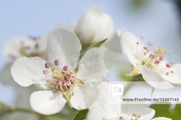 Weiße Apfelblüten  Nahaufnahme