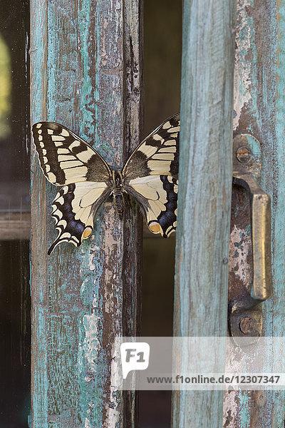 Bemaltes blaues Holz  Schmetterling
