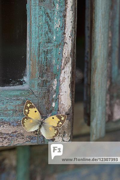 Bemaltes blaues Holz  gelber Schmetterling