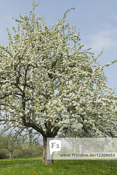 Deutschland  blühende Apfelbäume