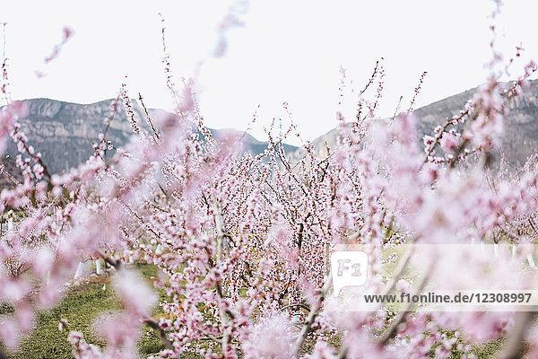 Spanien  Lleida  Kirschblüten