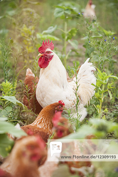 Germany  Chicken on farm