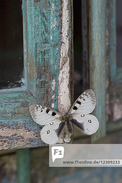 Lackiertes blaues Holz  weißer Schmetterling