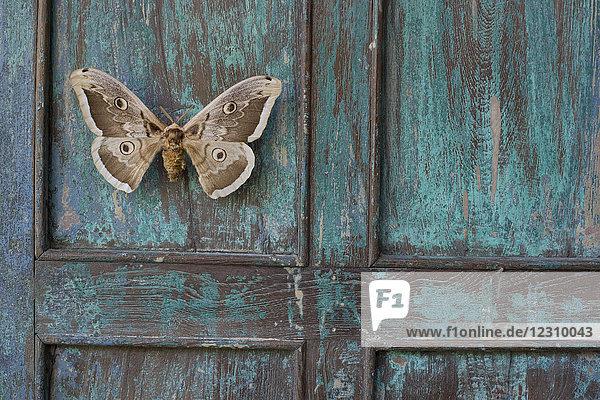 Bemaltes blaues Holz  brauner Schmetterling