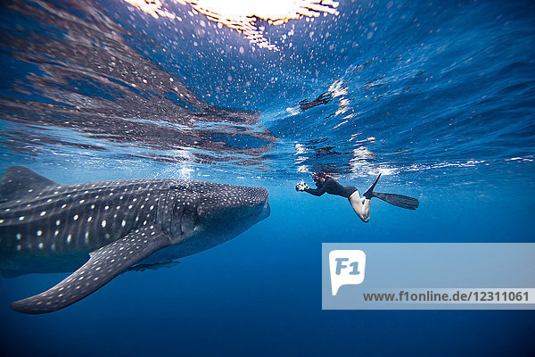 Underwater view of female snorkeler photographing whale shark  Quintana Roo  Mexico