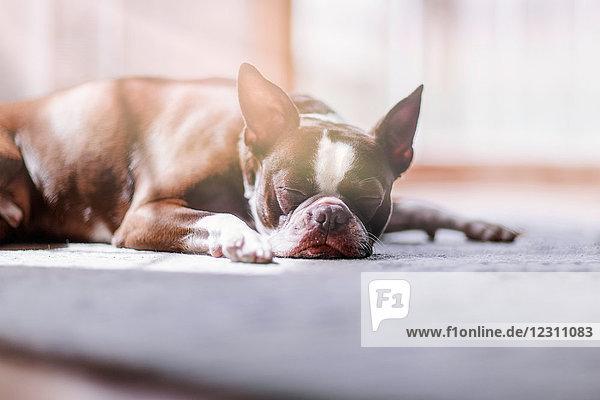 Porträt eines schlafenden Boston Terriers Porträt eines schlafenden Boston Terriers