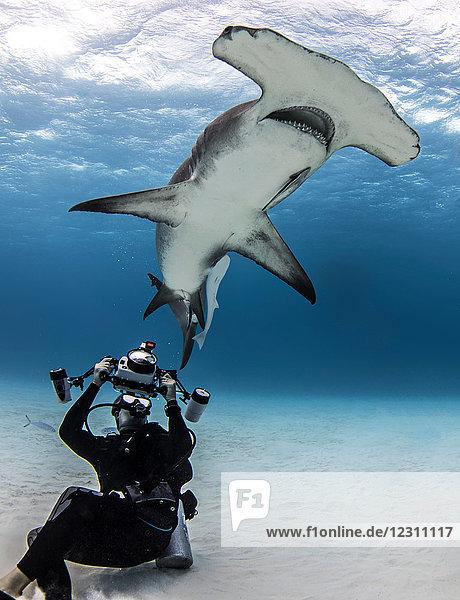 Unterwasseraufnahme eines Tauchers  der einen Hammerhai fotografiert  Alice Town  Bimini  Bahamas