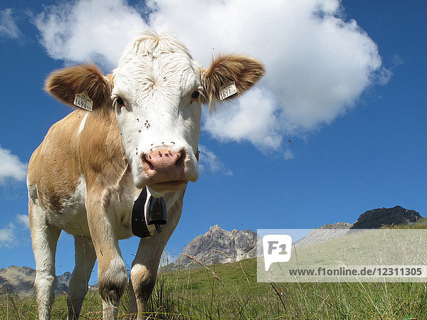 Austria  Tirol  close up on a Simmental cow face watching the photographer