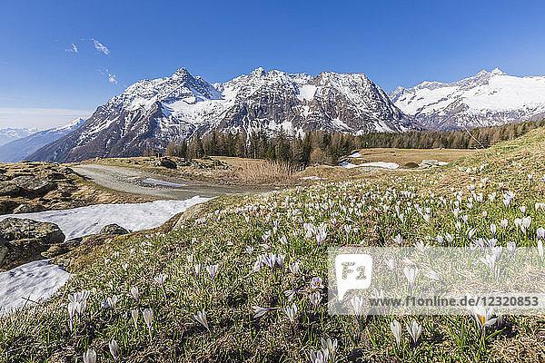 Crocus in bloom  Entova Alp  Malenco Valley  province of Sondrio  Valtellina  Lombardy  Italy  Europe