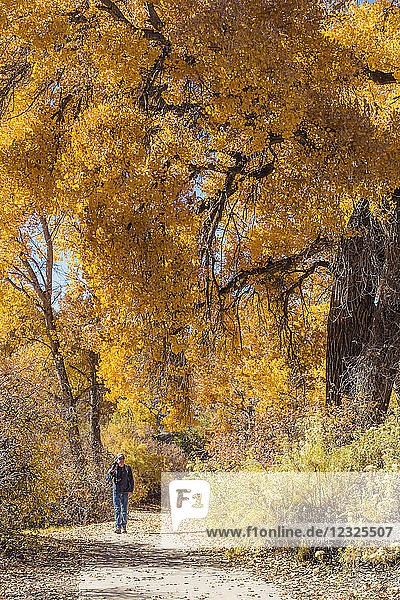 Photographer carrying equipment down a trail with vibrant autumn coloured foliage  Connected Lakes; Grand Junction  Colorado  United States of America